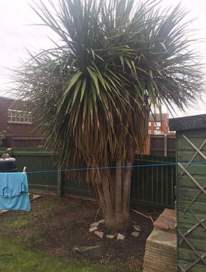 Tree Surgeon Runcorn - Tree before removal