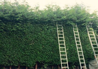 Tree Surgeon - Hedge Trimming